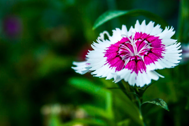 Beauty In Nature Blooming Blurry Background Close-up Day Flower Flower Head Focus On Foreground Fragility Freshness Green Leaves Backfround Growth Nature No People Outdoors Petal Plant
