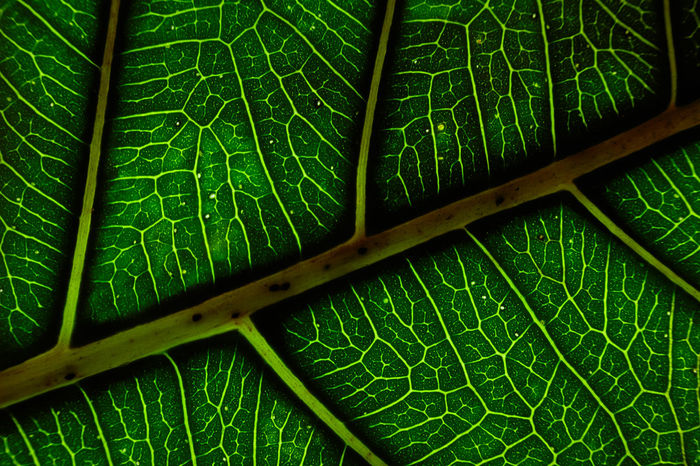 to try and capture the very life of tree.Beauty In Nature Chlorophyll Close-up Detail Focus On Foreground Green Green Color Green Color Growth Leaf Leaf Vein Leaf Veins Leaves Macro Showing Imperfection Macro_collection Natural Pattern Nature Botany My Favorite Photo EyeEm Selects