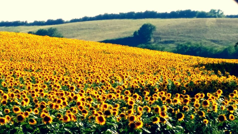 Sunflowers🌻 Italian Sun_collection Sunflowers Field Brilliance  Radiantbeauty