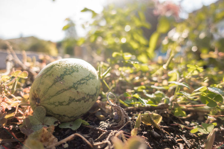 Beauty In Nature Close-up Day Field Focus On Foreground Food Food And Drink Freshness Green Color Growth Healthy Eating Nature No People Outdoors Watermelon