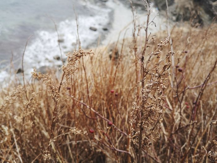 Foggy sea beach Onthebeach Nature Outdoors Active Trip EyeEm Best Shots Island EyeEm Nature Lover Nature_collection Valysh_Tina Island Life My Best Photo Rural Scene Cereal Plant Close-up Sky Grass Plant Dead Plant Dried Dry Leaves