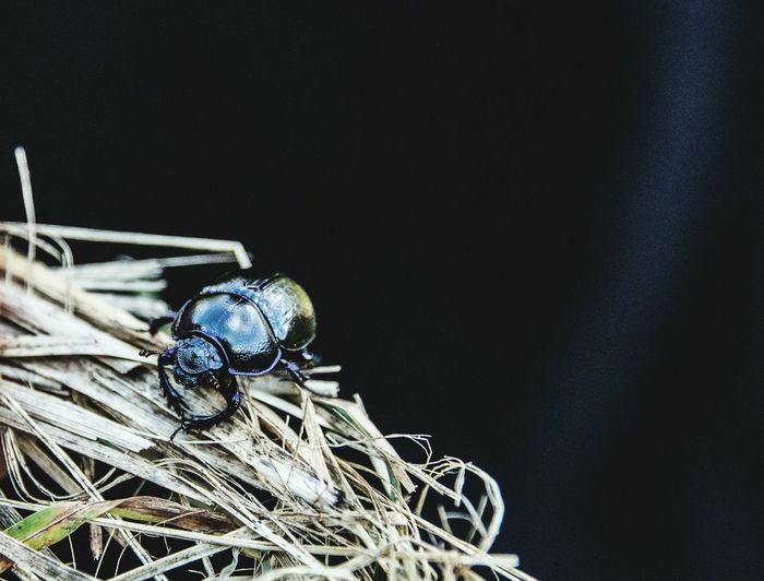Close-up of beetle on straw against black background