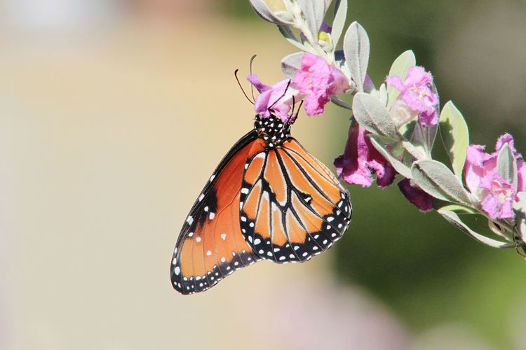 Sage Butterfly