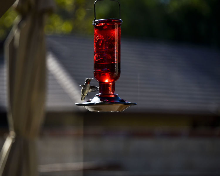 Anise Hummingbird hovering over a feeder Anise Hummingbird Backyard Birder Nature Photography Animal Themes Animals In The Wild Bird Bird Feeder Close-up Day Focus On Foreground Hovering Birds Hummingbird In Flight Collecting Nectar Nature No People Outdoors Red