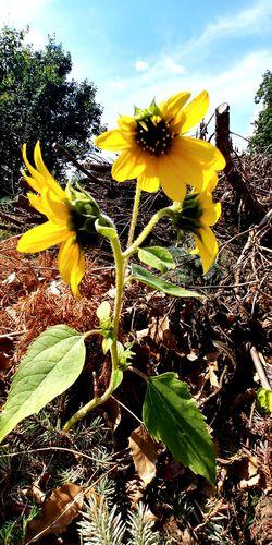 Kwiat Słonecznik Poland Flower Natura Nature Przyroda Alone Flower Head Flower Yellow Sunflower Horticulture Petal Uncultivated Springtime Summer Passion Flower Coneflower