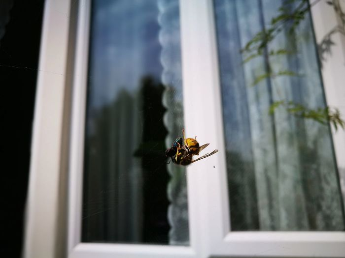 Honey bee tangled in spider web against window