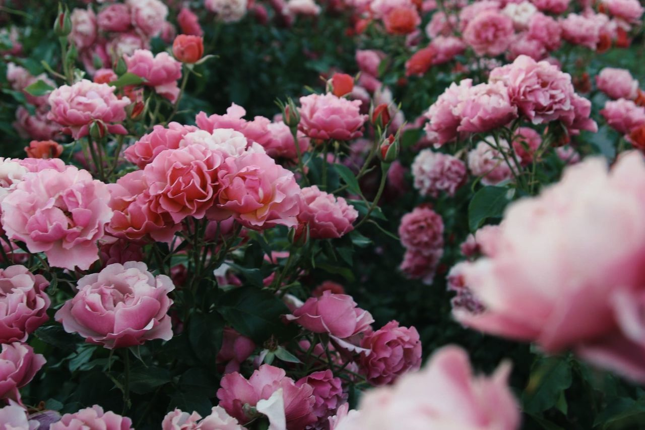 flower, nature, pink color, fragility, beauty in nature, no people, growth, plant, petal, freshness, day, outdoors, flower head, blooming, close-up