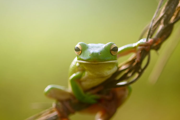 frogs, dumpy frogs, flying frogs, tree frogs on twigs Animal Themes One Animal Animal Animal Wildlife Animals In The Wild Green Color Vertebrate Frog Amphibian Close-up Selective Focus No People Animal Body Part Reptile Nature Outdoors Day Copy Space Animal Head  Eye Animal Eye Mouth Open