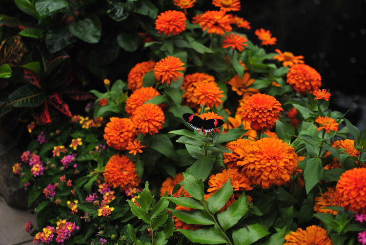Black And Orange Butterfly Beauty In Nature Botany Butterfly Close-up Day Flower Flower Head Flowering Plant Fragility Freshness Growth High Angle View Inflorescence Lantana Leaf Nature No People Orange Color Orange Flower Outdoors Petal Plant Plant Part Vulnerability