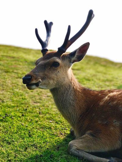 As located next to Nara Park, Mt. Wakakusa has many dears, too.Japan ,iPhone7plus One Animal Portrait