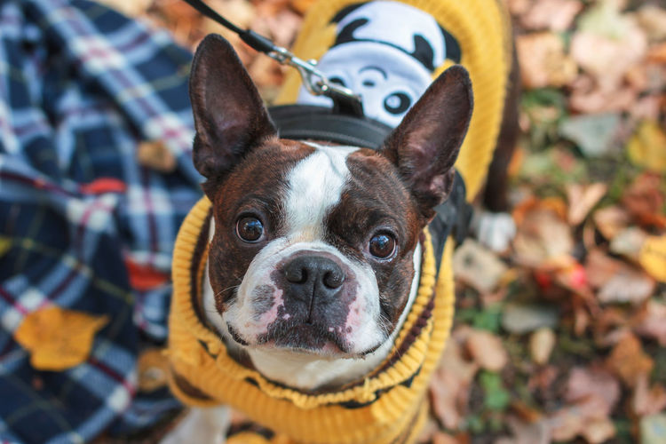 Boston terrier dog looking at the camera in the autumn park