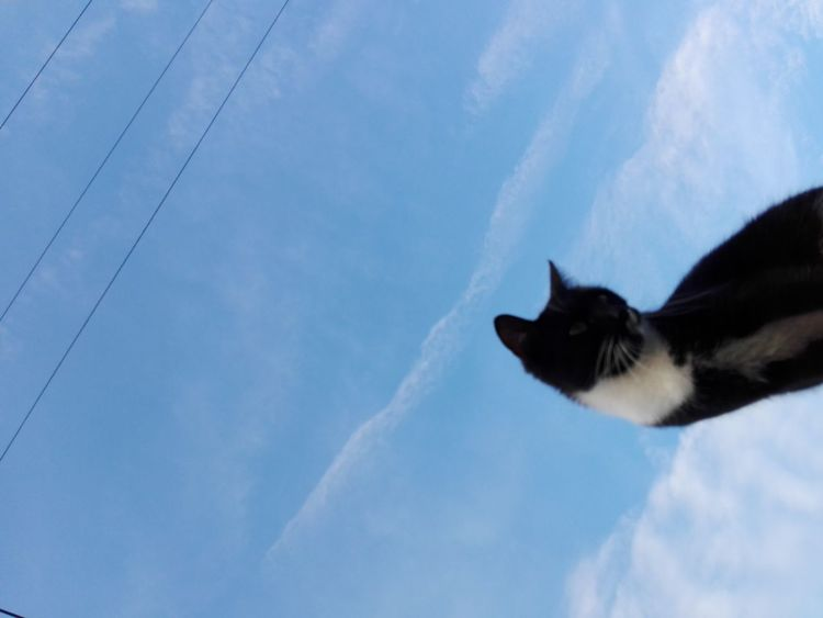 Cat Cat Uppon Sky Cat Uppon Sky And Clouds Cat Uppon Blue Sky One Animal Sky Cloud - Sky Pets Animal No People Outdoors Low Angle View No Human No Person WOLFZUACHiV Photography On Market Huawei Photography Wolfzuachiv WOLFZUACHiV Photos Veronica Ionita Ionita Veronica Eyeem Market Huaweiphotography Domestic Cat Animal Themes