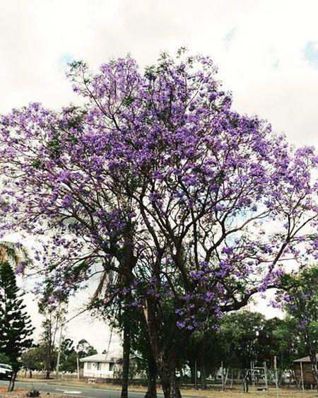 Jacarandatree Biloela Queensland Spring