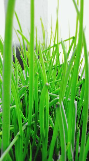 Chives, Home Grown Day Growth Grwen Natural Herb