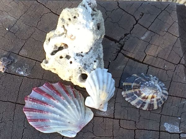 A rarity to find walking on the beach these days. Sea Shells Shells Fan Shells Pectinidae Scallop