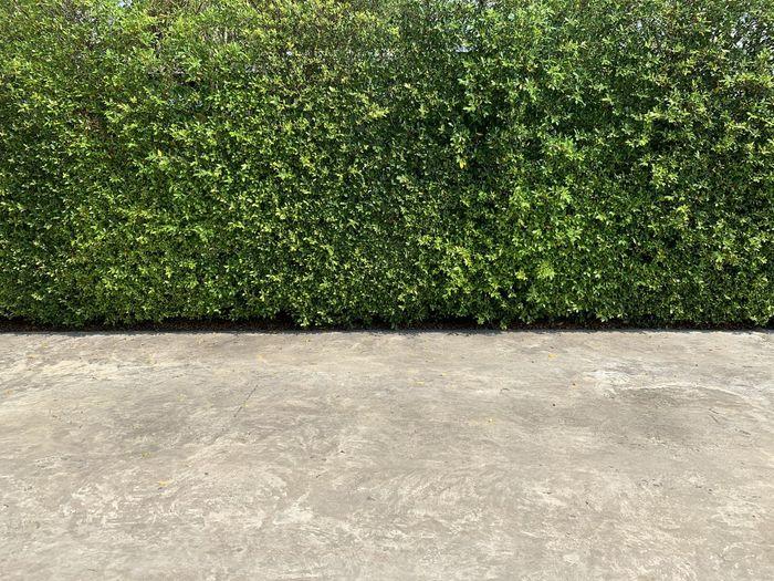 Full frame shot of ivy growing in garden