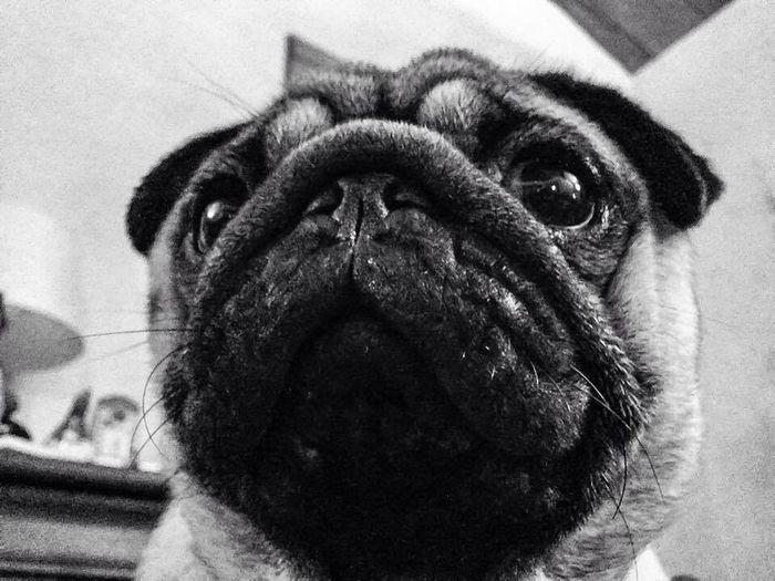 Pug Blackandwhite Photography Blackandwhite Noir Et Blanc Black & White Dog Dogs Chien #The Kiomi Collection