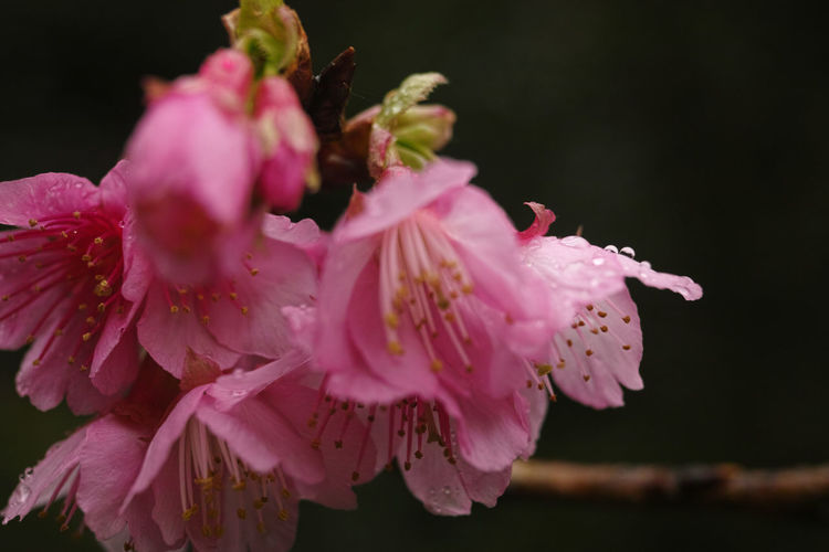 #Bokeh #cherryblossom #flowerhead #flowerporn #flowers #macro #Nature  #natureporn #Pink  #rain  #raindrops #rainyday #sakura #sakura2017 #shades #spring