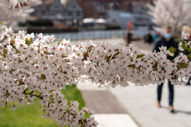Close-up of cherry blossoms in city