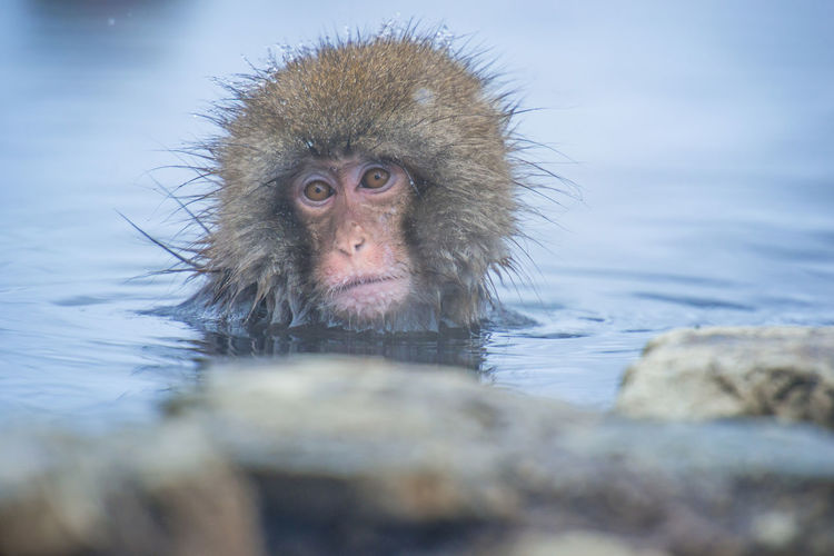 Snow monkey in a hot spring, Nagano, Japan. Animal Animal Body Part Animal Hair Animal Head  Animal Themes Animal Wildlife Animals In The Wild Day Hair Hot Spring Japanese Macaque Mammal Monkey No People One Animal Outdoors Portrait Primate Selective Focus Vertebrate Water