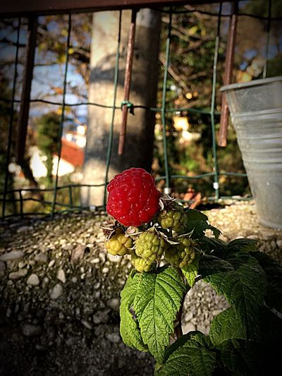 Raspberry Lampone Flower Nature No People Fruit Close-up Leaf Growth Beauty In Nature Outdoors Fragility Freshness Day Flower Head Greenhouse