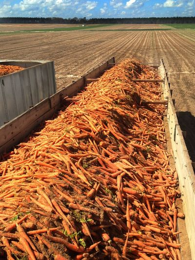 Trailer of harvested carrots ready to leave the field and go to the packing shed. Carrots Carrot Field Trailer Load Produce Agriculture Farm Commercial Agriculture Farm Life Carrot Field Rural Scene Business Bulk
