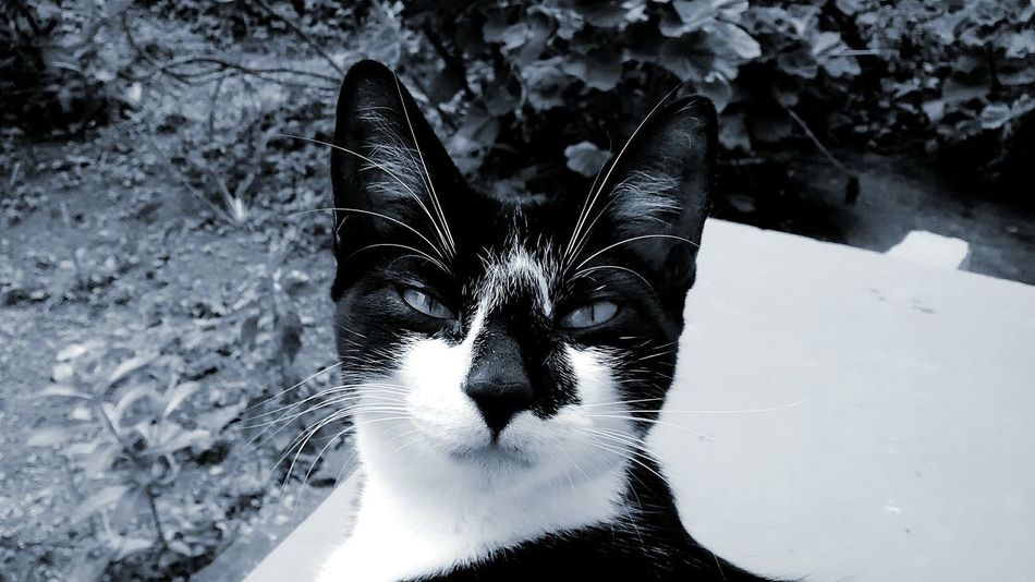 Feline Portrait No People Day Nature Indoors  Close-up Pets One Animal Animal Themes Domestic Cat Domestic Animals Blackandwhite