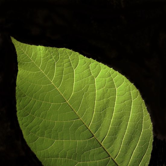 Beauty In Nature Black Background Close-up Day Focus On Foreground Fragility Freshness Green Color Growth Leaf Leaf Vein Leaves Macro Natural Condition Natural Pattern Nature No People Outdoors Pattern Plant Plant Part Textured  Vulnerability
