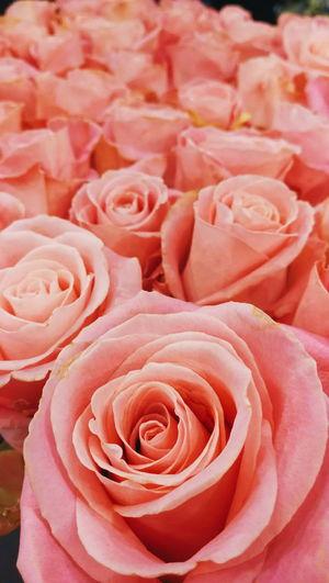 Full frame shot of pink roses