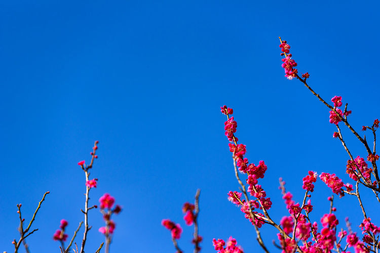 Sky Low Angle View Blue Plant Flower Growth Flowering Plant Beauty In Nature Nature No People Fragility Tree Clear Sky Day Branch Vulnerability  Red Freshness Blossom Sunlight Outdoors Springtime Cherry Blossom Spring Rowanberry