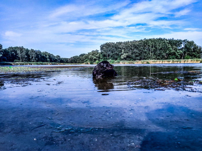 Labrador Black Labrador Animals Dog Swimming Lab Water Pixelated Lake Swimming Sky Cloud - Sky Dog