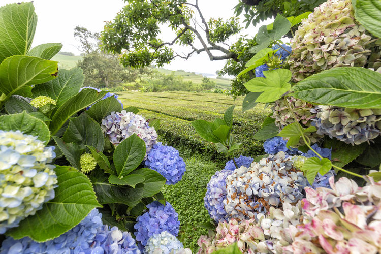Tea bushes hiding in between view of brilliant Hydrangeas on the island of Sao Miguel. São Brás São Brás Cha Gorreana Portugal Azores Sao Miguel Tea Green Black Production Factory Industry Rows Atlantic Europe Cha Gorreana Organic Leaf Agriculture Island Tourism Drink No People Hydrangea Outdoors