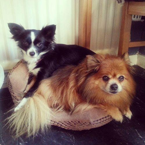 Bunking up Pikachu and PooPoo Dogs Chihuahua Pomeranian Cute Snuggling Sleepy