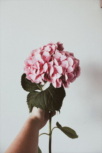 Cropped Hand Holding Pink Flowers Against Wall