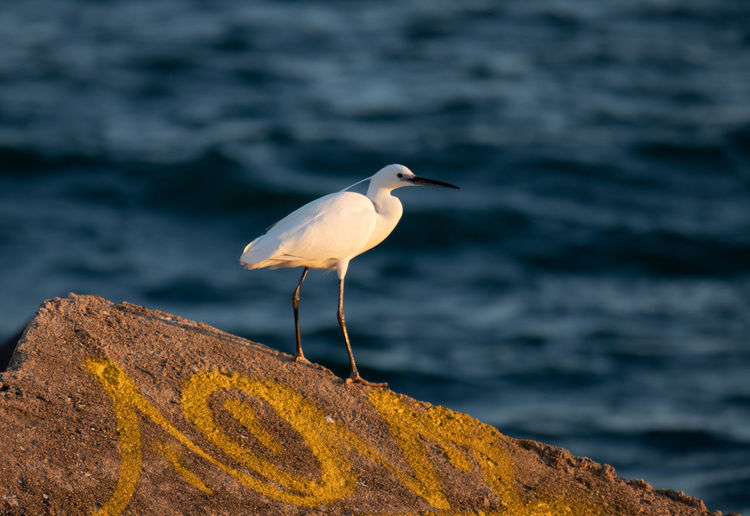 One Animal Animals In The Wild Animal Wildlife Animal Themes Water Vertebrate Animal Bird Sea Perching Focus On Foreground No People Solid Rock Rock - Object Nature Day Outdoors Oiseau Heron Bird Heron Feather  White Bird Nature Wildlife Wildlife & Nature