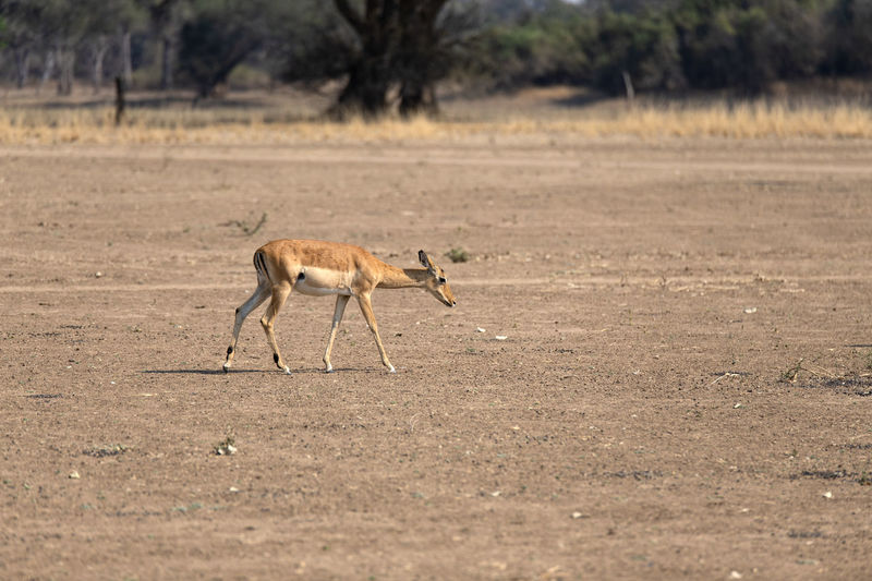 Side view of impala on field