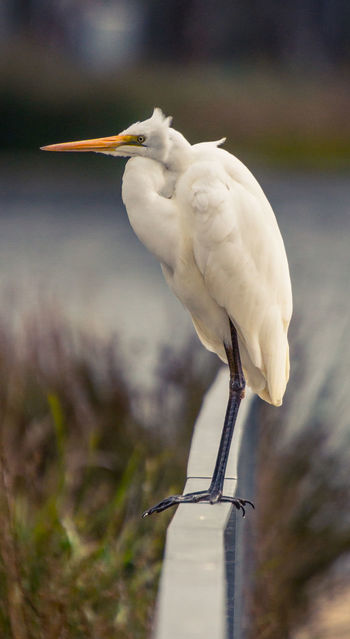 Great Egret Adobe CC Beautiful Animals  Birding EyeEm Nature Lover Animal Themes Animal Wildlife Animals In The Wild Beautiful Birds Beauty In Nature Bird Close-up Day Focus On Foreground Great Egret Nature No People One Animal Outdoors Perching Shepparton Sony Photography Wildlife