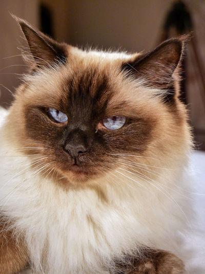 Ragdoll Cat Ragdoll Blue Eyes Hair Animal Animal Hair Animal Themes Cat Cats Fur Indoors  Kitten Longhair No People One Animal Pets Portrait EyeEmNewHere The Great Outdoors - 2018 EyeEm Awards My Best Photo