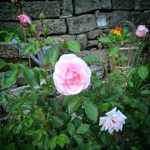 Baby Pink Garden Pastel Pink Pastel Pink Petals Pink Rose Pink Roses Pink Roses Close-up Rose - Flower Roses Roses Flowers  Roses🌹 Rose🌹 Rosé