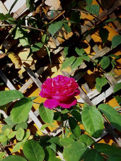 Rose - Flower Rose🌹 Pink Color Green Flower Head Flower Leaf Petal Close-up Blooming Plant Green Color Plant Life Blossom Greenery Single Rose In Bloom Wild Rose