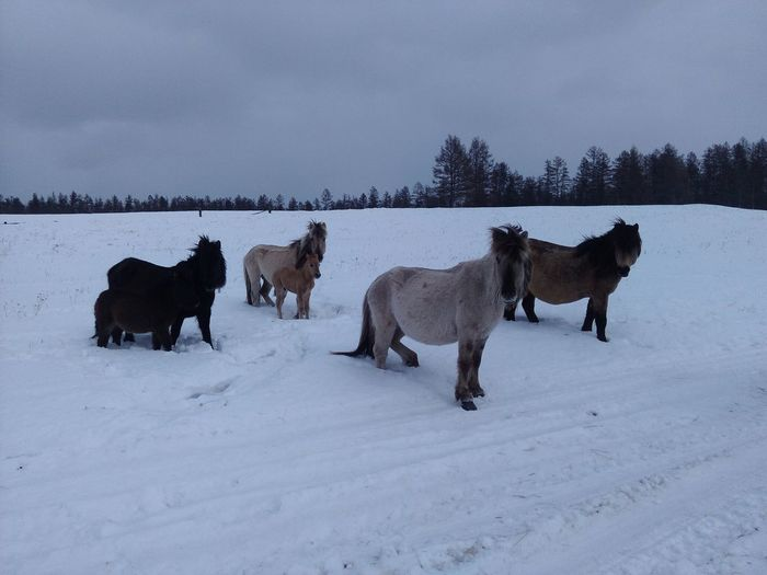 Horses on field against sky during winter