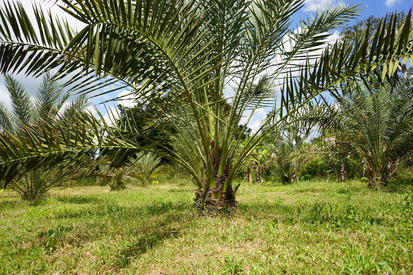 Barhi Dates Dates On Date Palm Barhi Date Palm Date Palm Garde Date Palm Tree Date Palms Palm Tree Tranquility