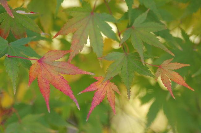 天龍寺 紅葉2016 紅葉 紅葉🍁 Nature_collection Nature Photography Autumn Beauty In Nature Nature Maple Leaf