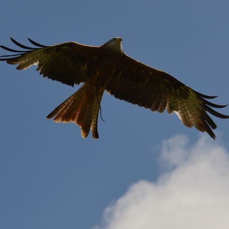 No Filter, No Edit, Just Photography Nature Photography Fast Shutter Speed Red Tailed Kite Birdsflyinghigh Capturing Movement Birds Of Prey Bird Photography International Centre For Birds Of Prey Falconry Display Birds In Flight Raptor Looking Up Blue Sky