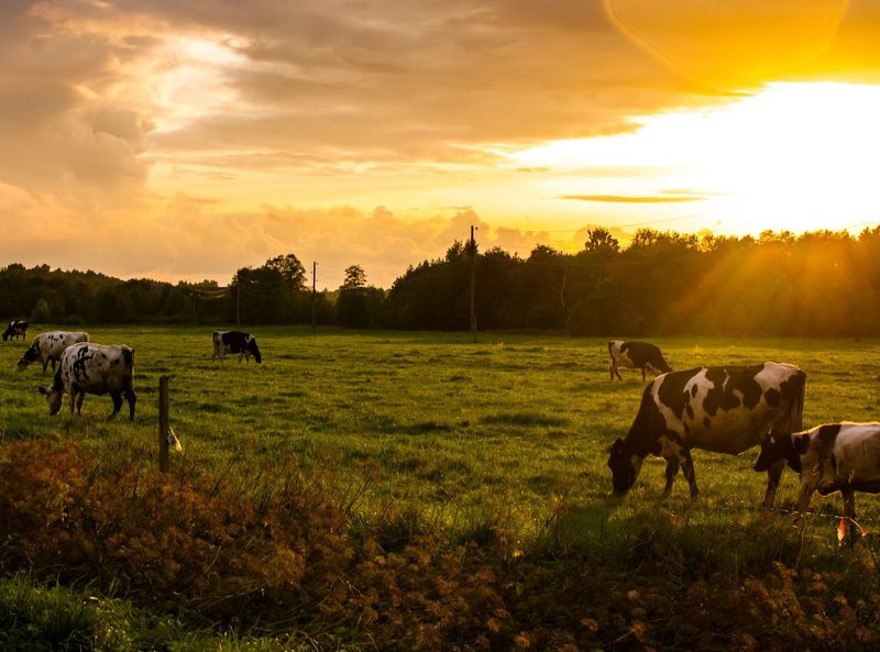 Cows at sunset. Cows Grazing Sunset Evening Light Dusk Livestock Domestic Animals Animal Themes Herd Of Cattle Cattle Countryside Rural Landscape Sundown Dusk Sky Sky And Clouds Grass Field Grass Field Meadow Trees Country Life Orange Sky