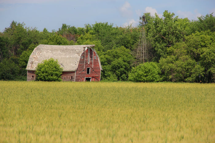 Old Red Barn Abandoned Agriculture Barn Canon60d Canonphotography Crop  Farm Field Grain Grove Landscape Red Rural Scene Summer Tree Wheat Windmill
