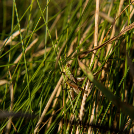 Beauty In Nature Colour Of Life Colours Of Nature Grass Grasshopper Green Macro Nature Nature