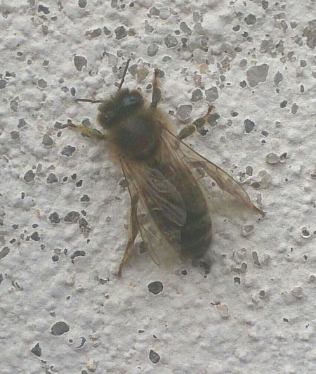 Nature In Town. Taking Photos Bee On A Wall