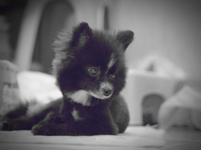 Domestic Dog Pomeranian Cute Dog  Looking At Things Pets Front View Indoors  Pet Portraits