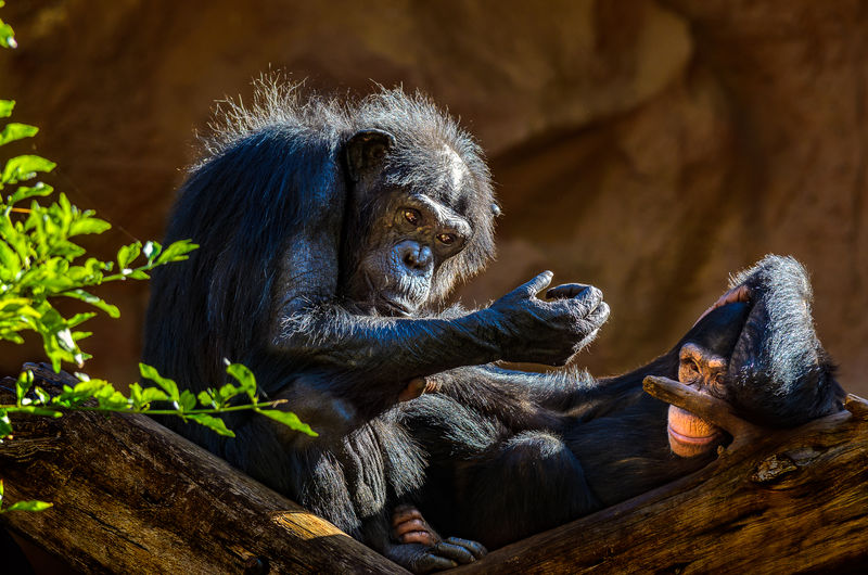 A chimpanzee family enjoys the sun. Canary Islands Chimpanzee SPAIN Animal Themes Animal Wildlife Animals In The Wild Bonobo Chimpanzee Family Close-up Day Mammal Monkey Nature No People Outdoors Primate Relaxation Tenerife Teneriffa